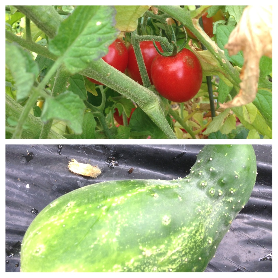 Ripening tomatoes and cucumbers