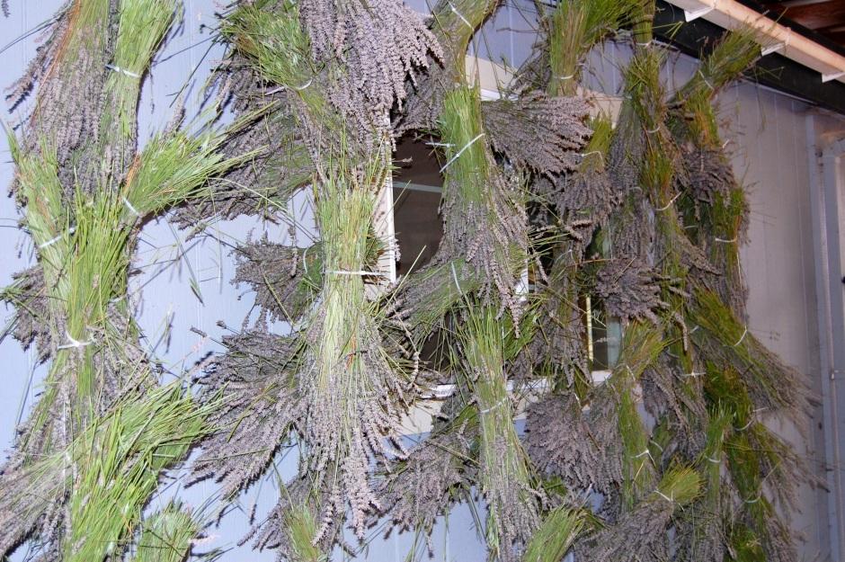 lavender, french lavender, healdsburg